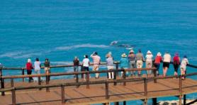 Whale Watching season begins in South Australia with the aim of helping First Nations communities